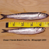 IQF Northern Anchovy (Engraulis mordax)