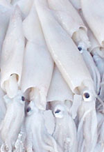 25 Pound Carton - California Squid (Loligo opalescens)
